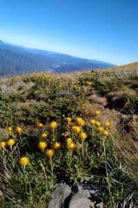 Wild flowers on Mt Feathertop
